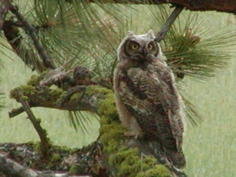 Great Horned Owl at Eden Valley