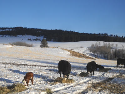 Cows and calves eating hay in winter