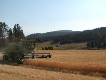 View of combine during wheat harvest
